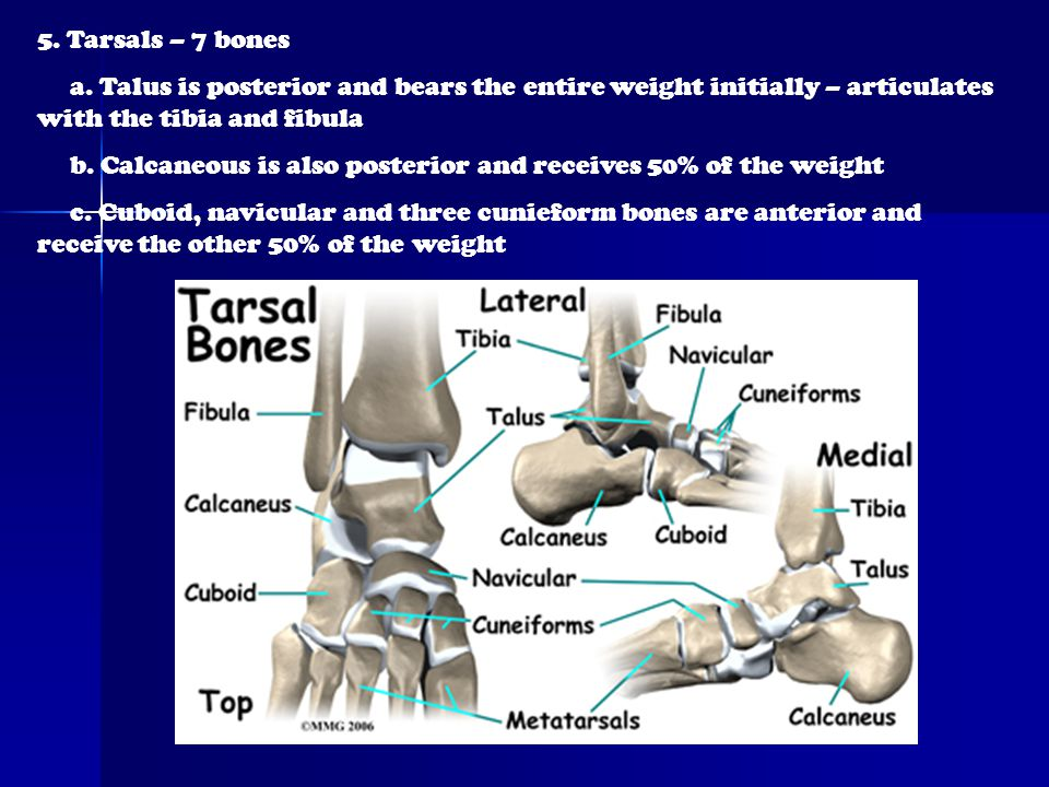 5. Tarsals – 7 bones a. Talus is posterior and bears the entire weight initially – articulates with the tibia and fibula.