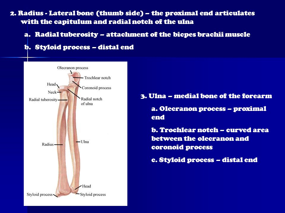 2. Radius - Lateral bone (thumb side) – the proximal end articulates with the capitulum and radial notch of the ulna