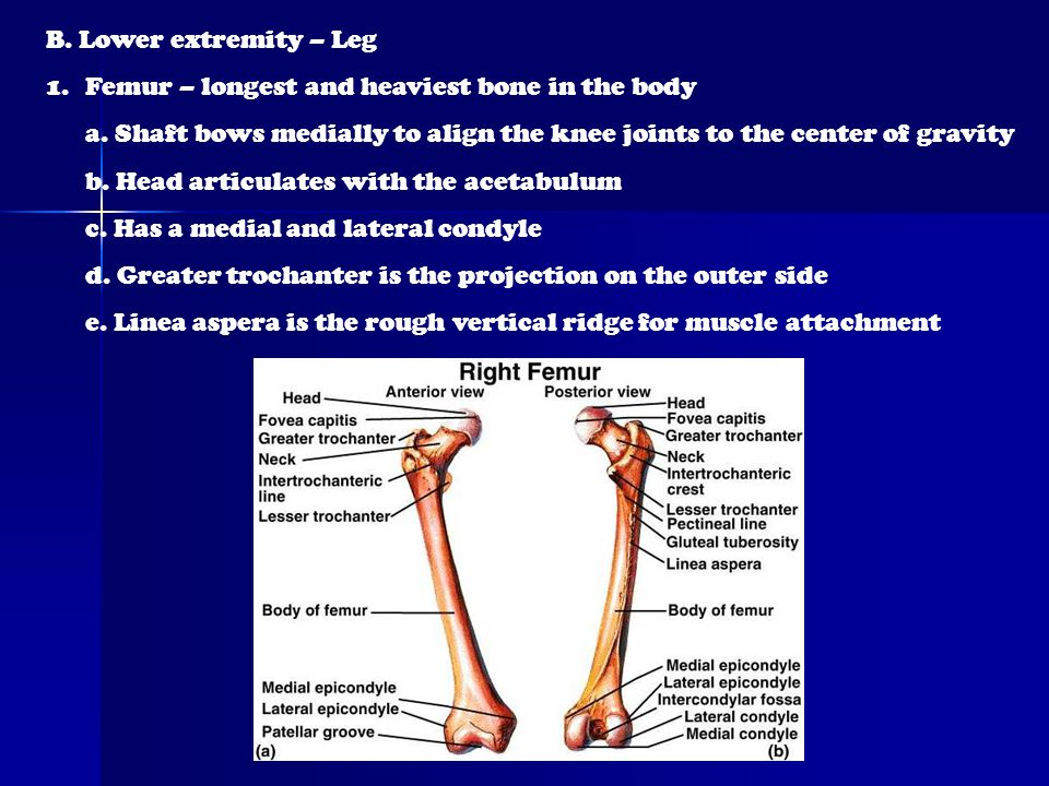 B. Lower extremity – Leg Femur – longest and heaviest bone in the body. a. Shaft bows medially to align the knee joints to the center of gravity.