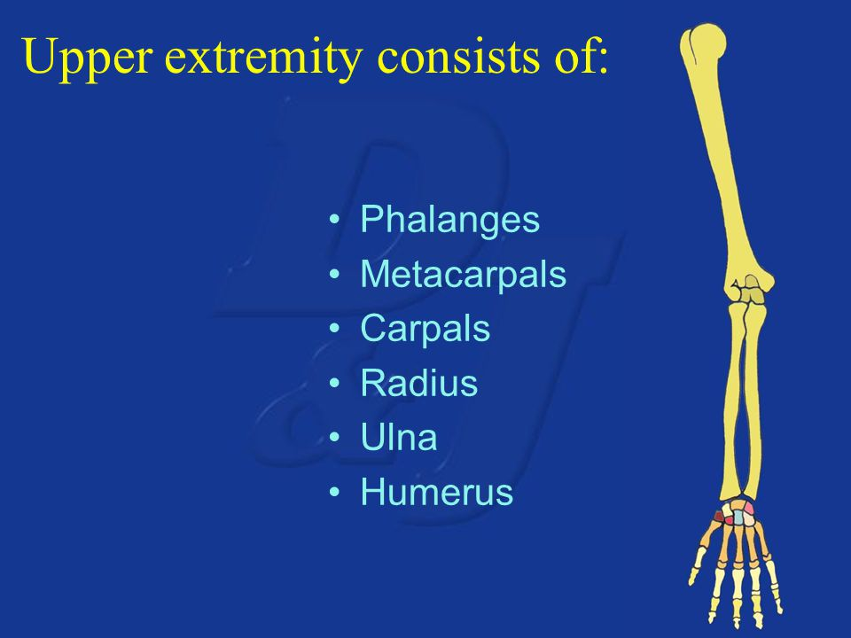 Upper extremity consists of: