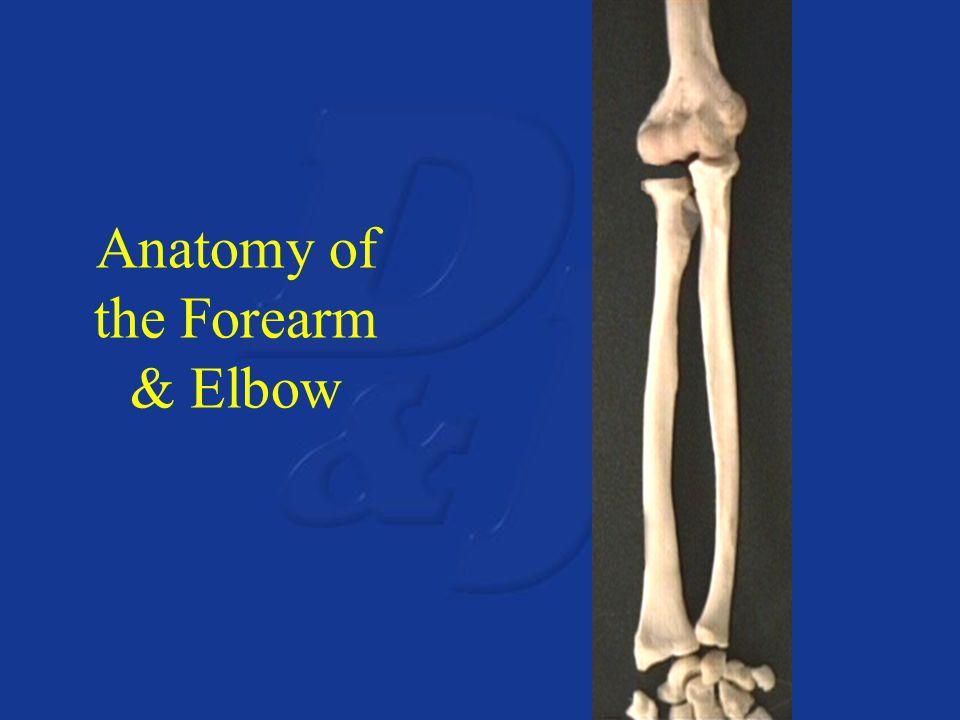Anatomy of the Forearm & Elbow