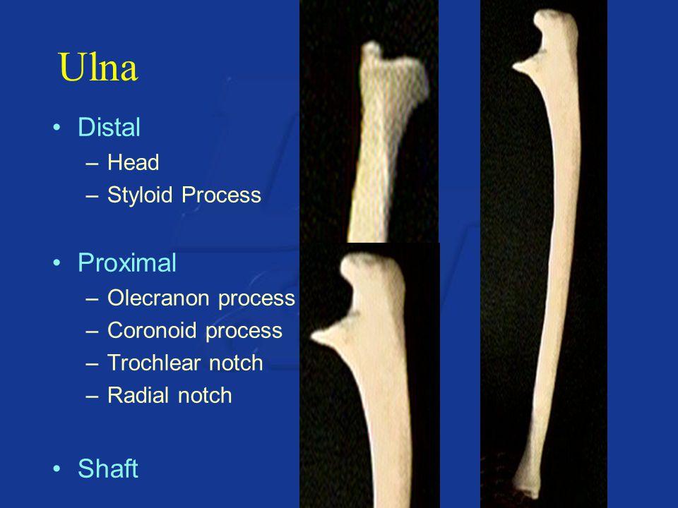 Ulna Distal Proximal Shaft Head Styloid Process Olecranon process