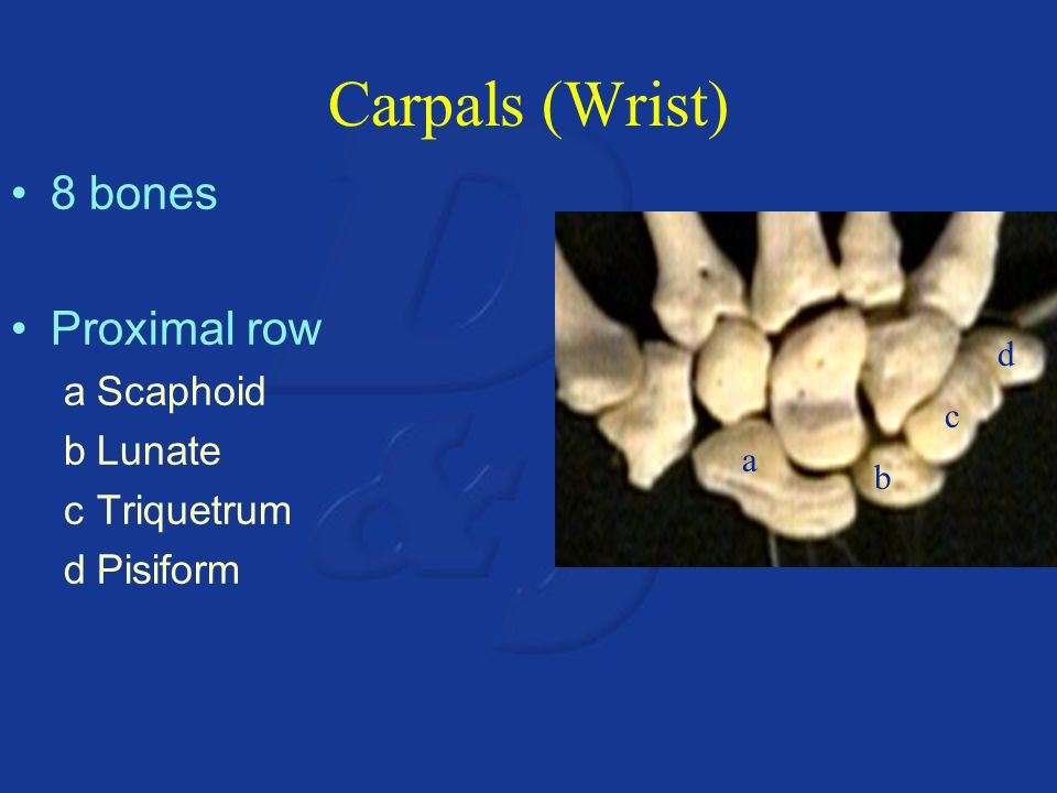 Carpals (Wrist) 8 bones Proximal row Scaphoid Lunate Triquetrum