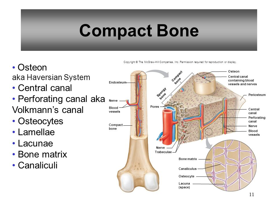 Compact Bone Osteon Central canal
