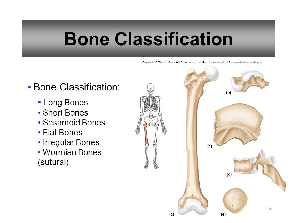Bone Classification Bone Classification: Long Bones Short Bones