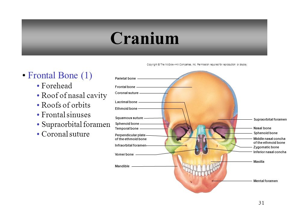 Cranium Frontal Bone (1) Forehead Roof of nasal cavity Roofs of orbits