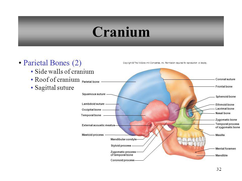 Cranium Parietal Bones (2) Side walls of cranium Roof of cranium