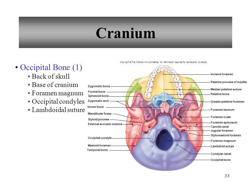 Cranium Occipital Bone (1) Back of skull Base of cranium