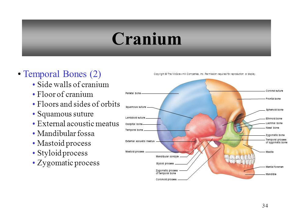 Cranium Temporal Bones (2) Side walls of cranium Floor of cranium