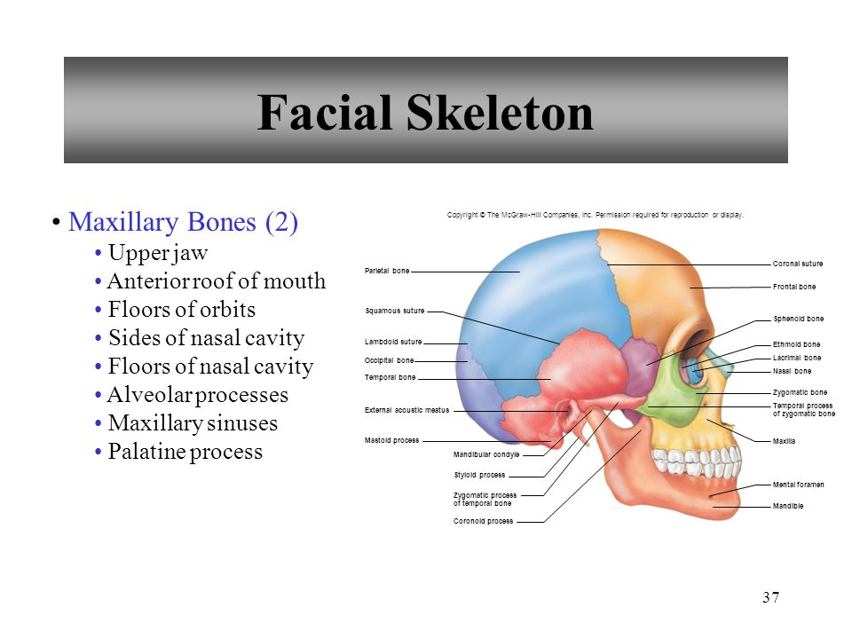 Facial Skeleton Maxillary Bones (2) Upper jaw Anterior roof of mouth