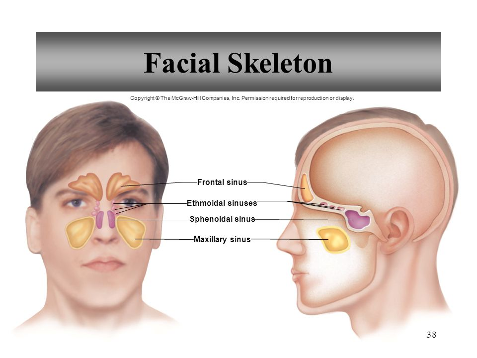 Facial Skeleton Frontal sinus Ethmoidal sinuses Sphenoidal sinus