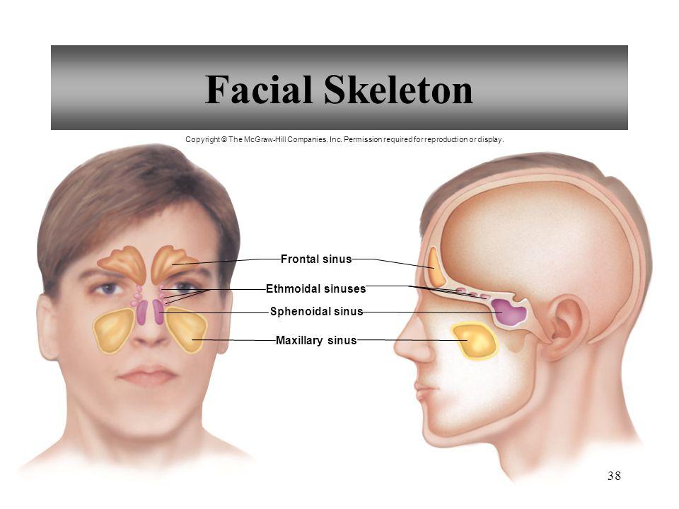 Facial Skeleton Frontal sinus Ethmoidal sinuses Sphenoidal sinus