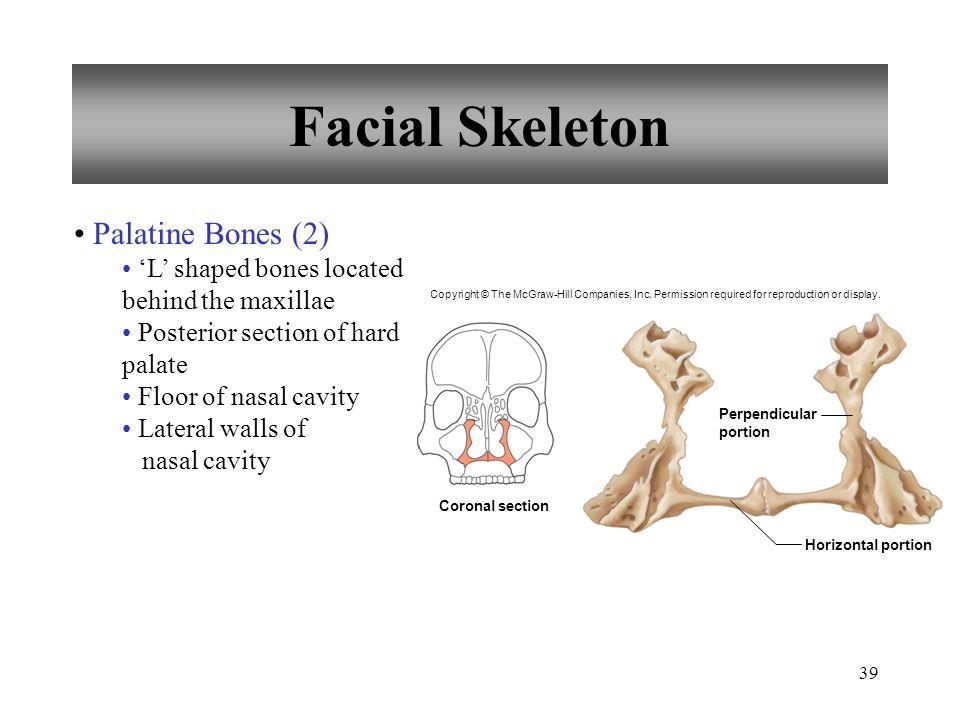Facial Skeleton Palatine Bones (2)