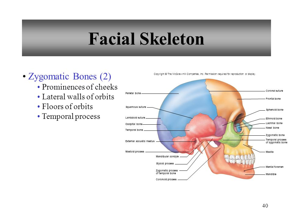 Facial Skeleton Zygomatic Bones (2) Prominences of cheeks