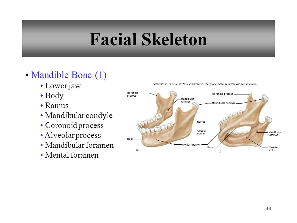 Facial Skeleton Mandible Bone (1) Lower jaw Body Ramus