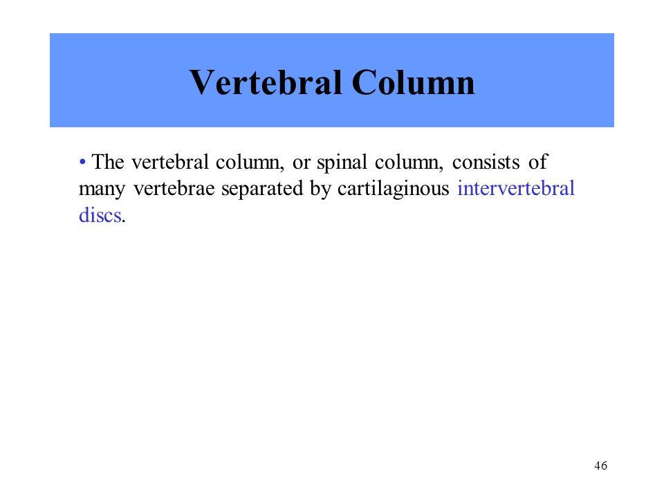 Vertebral Column The vertebral column, or spinal column, consists of many vertebrae separated by cartilaginous intervertebral discs.