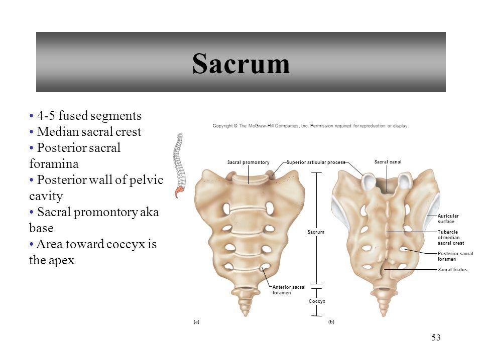 Sacrum 4-5 fused segments Median sacral crest