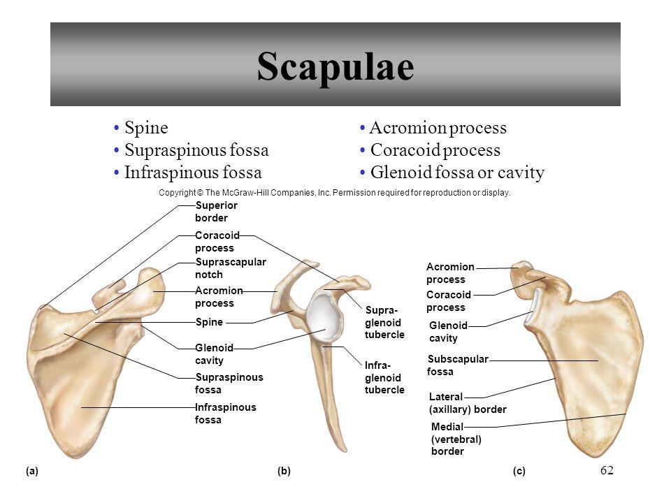 Scapulae Spine Supraspinous fossa Infraspinous fossa Acromion process
