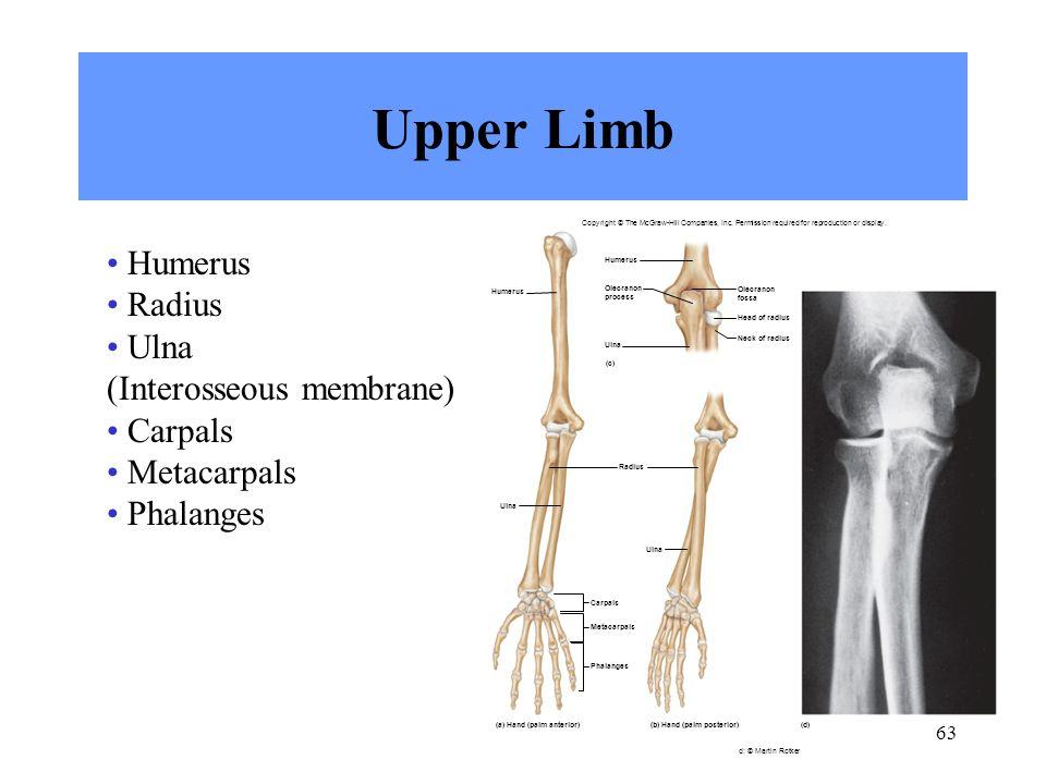 Upper Limb Humerus Radius Ulna (Interosseous membrane) Carpals