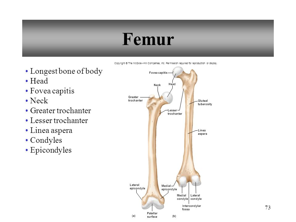 Femur Longest bone of body Head Fovea capitis Neck Greater trochanter