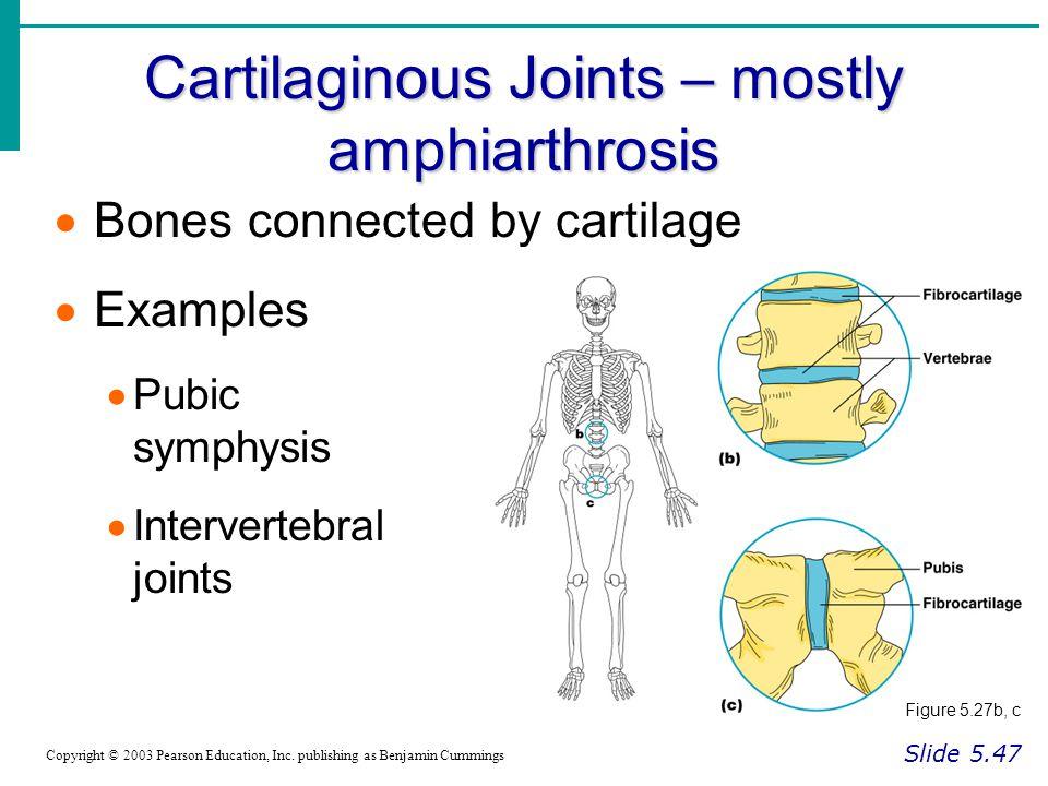 Cartilaginous Joints – mostly amphiarthrosis