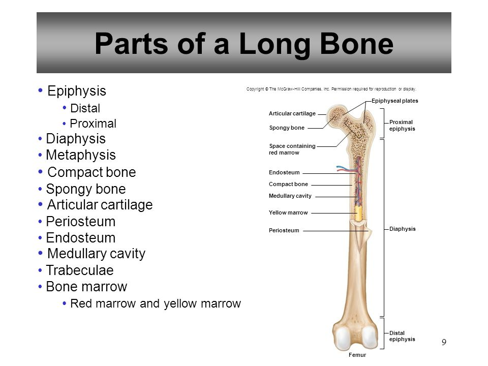 Parts of a Long Bone Epiphysis Compact bone Articular cartilage