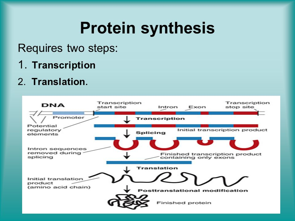 Protein synthesis Requires two steps: Transcription Translation.