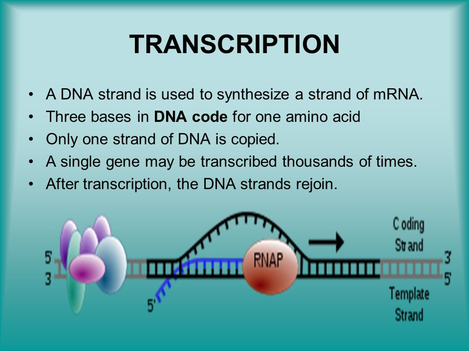 TRANSCRIPTION A DNA strand is used to synthesize a strand of mRNA.