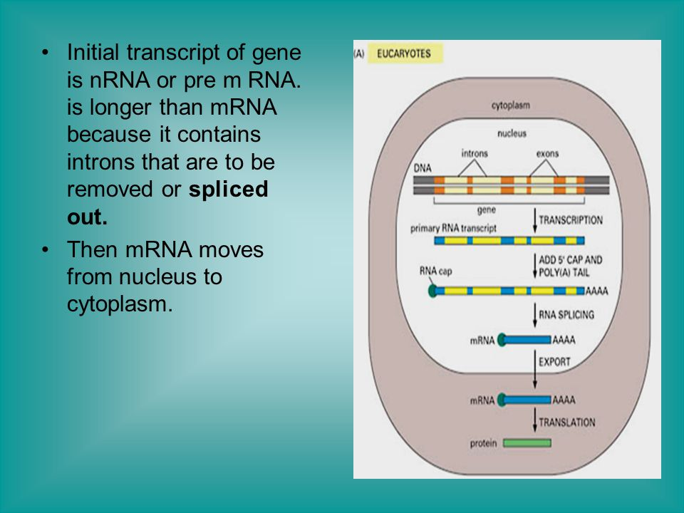 Initial transcript of gene is nRNA or pre m RNA