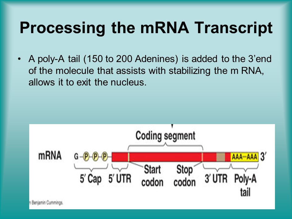 Processing the mRNA Transcript