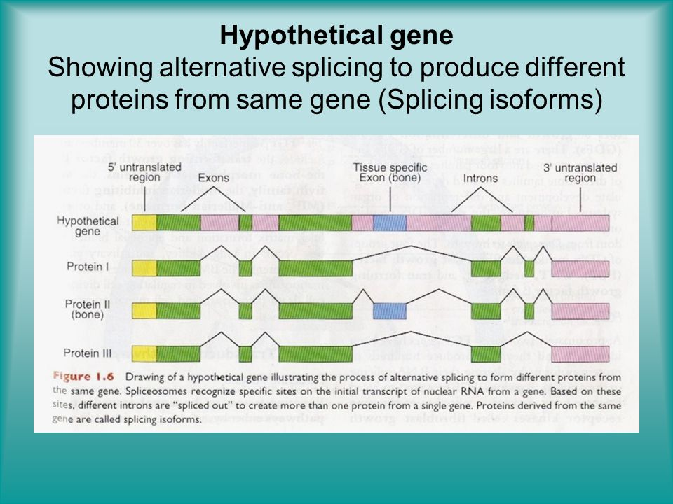 Hypothetical gene Showing alternative splicing to produce different proteins from same gene (Splicing isoforms)