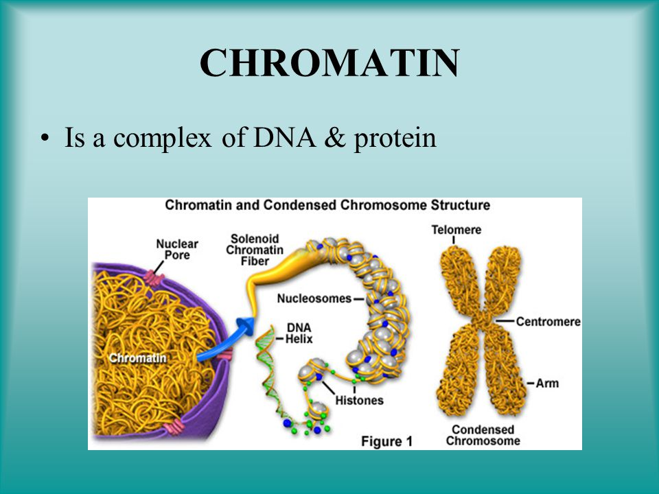 CHROMATIN Is a complex of DNA & protein
