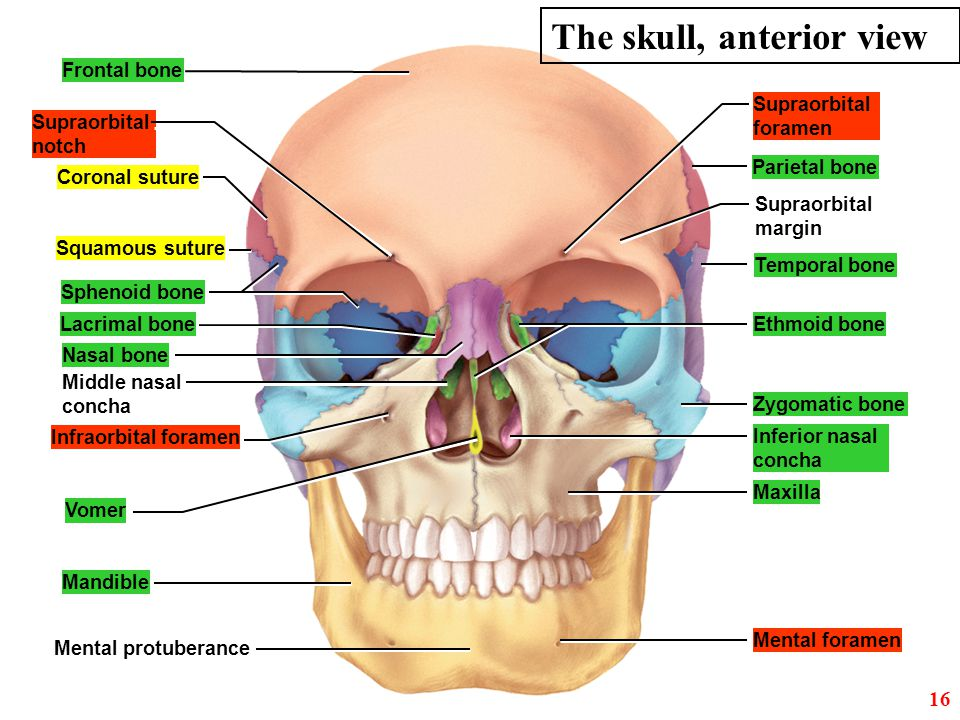 The skull, anterior view