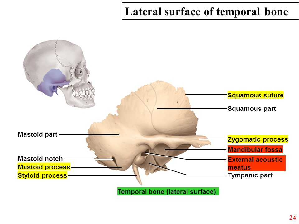 Lateral surface of temporal bone