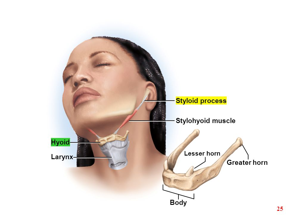 Styloid process Stylohyoid muscle Hyoid Larynx Greater horn Body