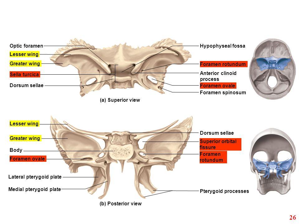 26 Optic foramen Hypophyseal fossa Lesser wing Greater wing