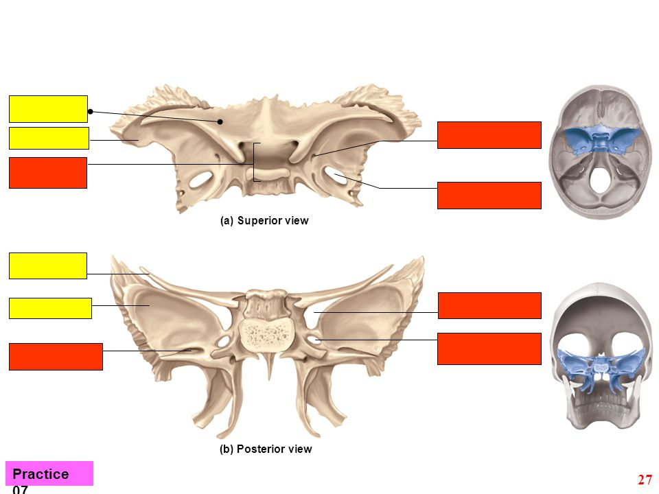 (a) Superior view (b) Posterior view Practice 07 27