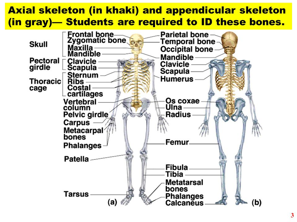 Lab 7a the appendicular skeleton. Research paper Service pkessayvbmi ...