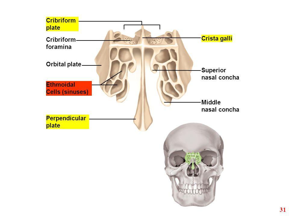 31 Cribriform plate Crista galli Cribriform foramina Orbital plate