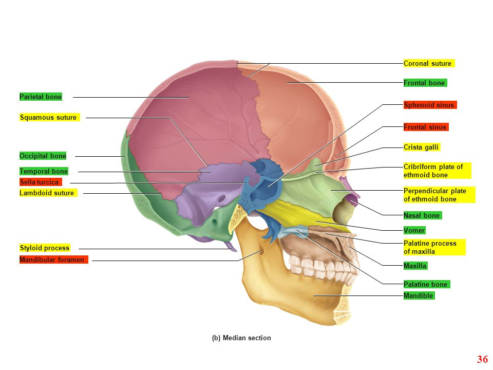 36 Coronal suture Frontal bone Parietal bone Sphenoid sinus