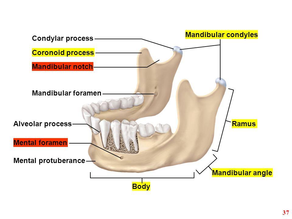 Mandibular condyles Condylar process Coronoid process Mandibular notch