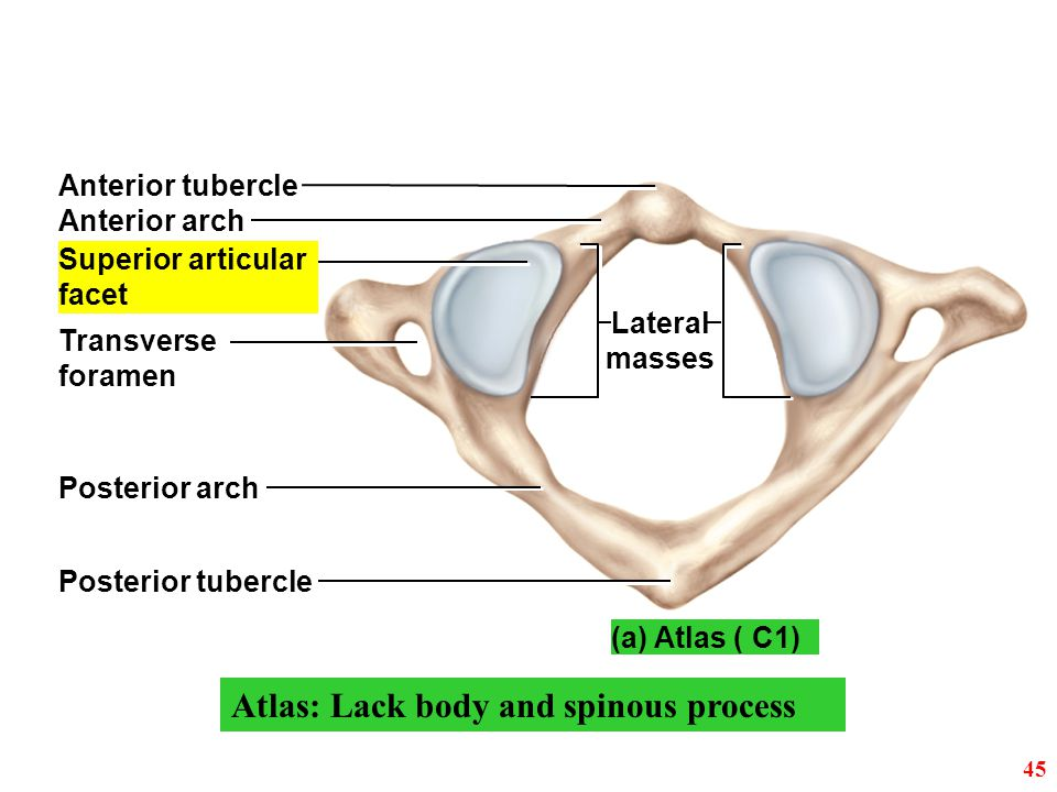 Atlas: Lack body and spinous process