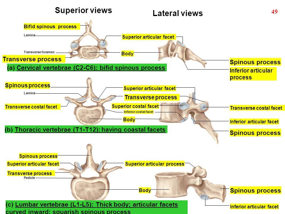 Superior views Lateral views 49 Transverse process Spinous process