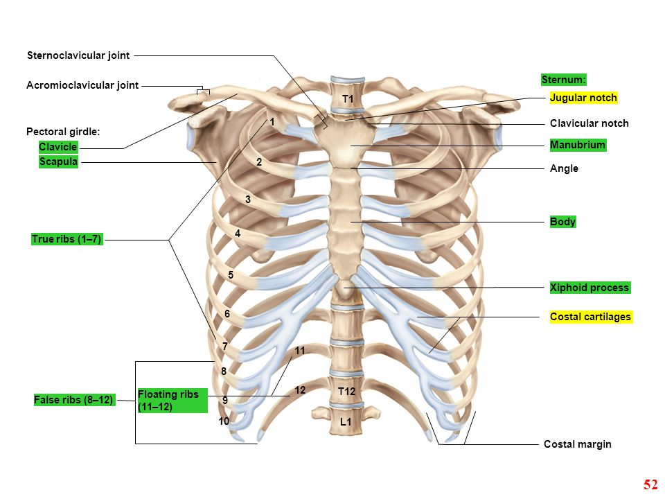 52 Sternoclavicular joint Sternum: Acromioclavicular joint T1
