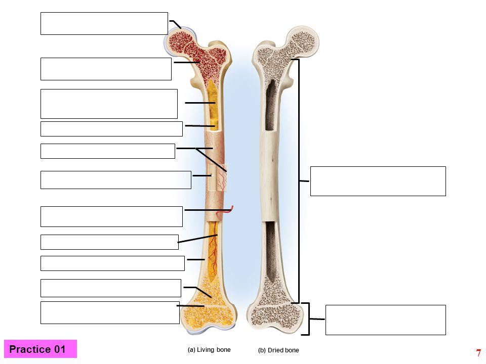 Practice 01 (a) Living bone (b) Dried bone 7
