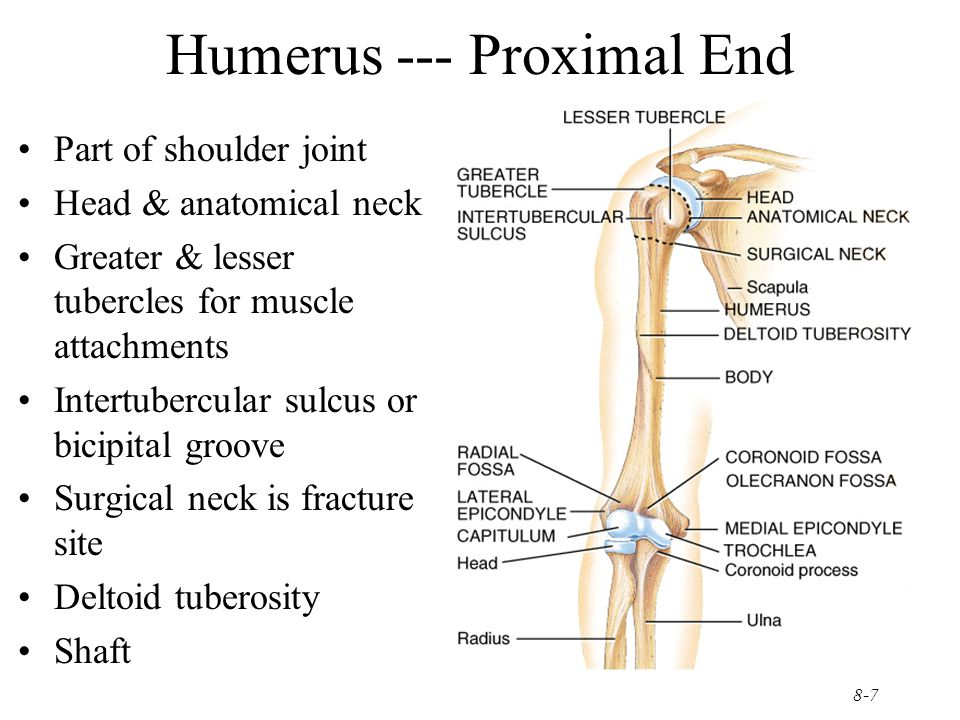 Humerus --- Proximal End
