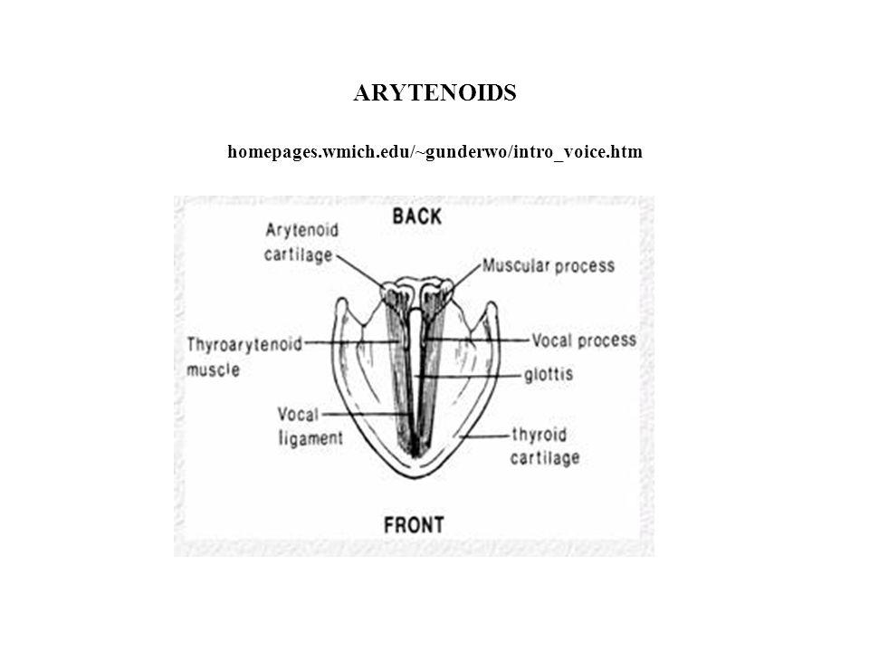 ARYTENOIDS homepages.wmich.edu/~gunderwo/intro_voice.htm