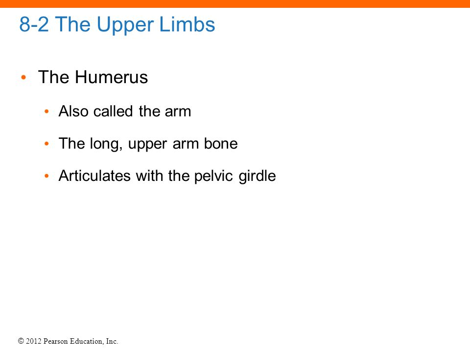 8-2 The Upper Limbs The Humerus Also called the arm