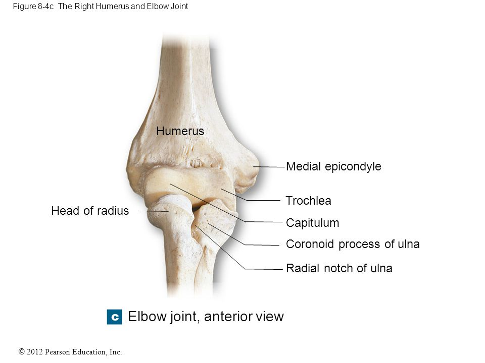 Figure 8-4c The Right Humerus and Elbow Joint