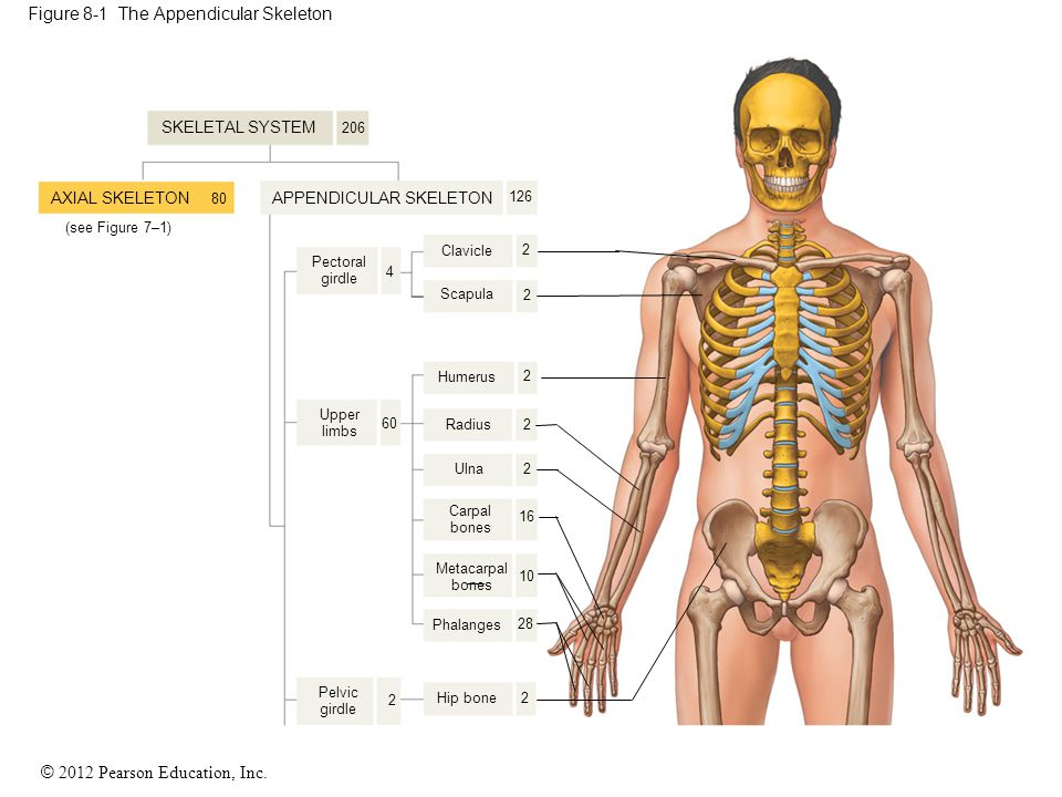 Figure 8-1 The Appendicular Skeleton